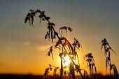 Marijuana. Hemp. Cannabis. Cannabis In The Sunset Sun And On A Blurred Background. Marijuana Bush Fo poster