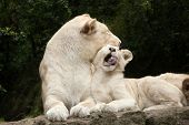 Постер, плакат: Female white lion with two newborn lion cubs The white lions are a colour mutation of the Transvaal