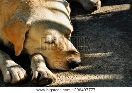 poster of Dog Sick, Sleep Dog Relax Alone, Brown Dog Is Sleeping, Brown Dog Is Sleep Sick