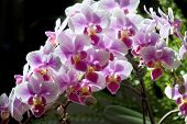 Orchid-Cattlyea In Soft Focus poster