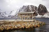 Drying cod fish in winter. Reine fishing village, Lofoten islands, Norway poster