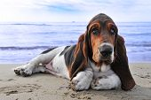picture of basset hound  - picture of puppy purebred basset hound on a beach - JPG