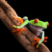 pic of nocturnal animal  - red eyed tree frog at night in tropical rainforest treefrog Agalychnis callydrias in jungle Costa Rica bright vivid colors beautiful exotic rain forest animal - JPG