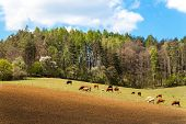 Cows Grazing Near The Forest In The Czech Republic. Farm Life. Milk Production. Spring Day On Pastur poster