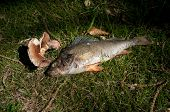 stock photo of gruesome  - dead bass fish in the grass full with maggots - JPG