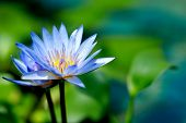 image of water lily  - blue water lily - JPG