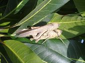 stock photo of copulation  - Grasshopers couple copulating on a mango tree - JPG