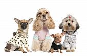 pic of dog clothes  - Group of 4 dogs dressed  - JPG