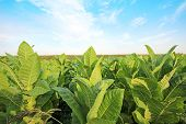 stock photo of snuff  - growing tobacco on a field in Poland - JPG
