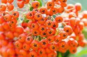 picture of belladonna  - Orange Poisonous Berries Fruits Close Up Details - JPG