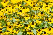 pic of black-eyed susans  - Yellow Flowers Rudbeckia Hirta Or Black Eyed Susan - JPG