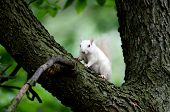 foto of albinos  - Rare white squirrel in a tree in the city park in Olney Illinois one of the few places were a large number of them exist - JPG