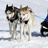 pic of sled dog  - A husky sled dog team at work with tongue outside by winter day - JPG