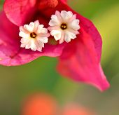 Pink bougainvillea flowers as a background