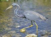 image of wetland  - Tricolored Heron In Florida Wetland - JPG