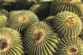 pic of cluster  - Golden Barrel cactus cluster in Arizona Winter Nature background  - JPG