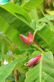 pic of banana tree  - Banana blossom of a banana tree in a natural garden - JPG