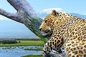 Постер, плакат: Leopard