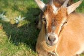 stock photo of billy goat  - A hungry brown domestic goat is laying in the sun eating grass - JPG