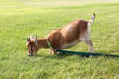 foto of billy goat  - A hungry brown pet goat is pulling on his leash trying to get to greener grass to eat - JPG