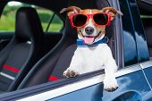 stock photo of car ride  - dog leaning out the car window making a cool gesture wearing red sunglasses - JPG