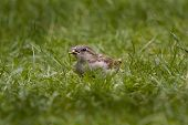 picture of endangered species  - Female Sparrow - JPG