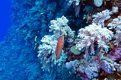 stock photo of fire coral  - coral reef with red exotic fish cephalopholis at the bottom of tropical sea - JPG