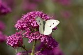 picture of heliotrope  - Cabbage white butterfly feeds on purple - JPG