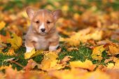 stock photo of lovable  - A lovable little Welsh Corgi puppy sits in some colorful Autumn leaves. ** Note: Soft Focus at 100%, best at smaller sizes - JPG
