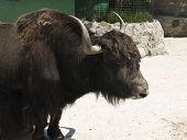 picture of yaks  - Tibetan yak  - JPG