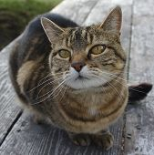 stock photo of adoration  - Tabby cat on a picnic table looks adoringly at the photographer - JPG