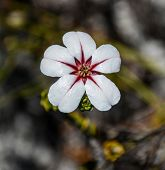 picture of fynbos  - Adenandra villosa flower at cape Point - JPG