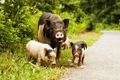 image of piglet  - cute pig with piglets on countryside road - JPG