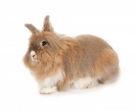 image of dwarf rabbit  - Lionhead rabbit - JPG