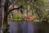 stock photo of magnolia  - Bald Cypress trees covered in Spanish Moss as viewed in the serene and lush swamp gardens of Magnolia Plantation in Charleston - JPG