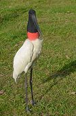 stock photo of stork  - Male Jabiru Stork, called Tuiuiu by the locals, in the Brazilian Pantanal