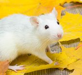image of rats  - Portrait of a cute white pet rat - JPG