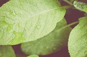 image of salvia  - wet sage leaf extreme close up on a grenn blurry background  - JPG