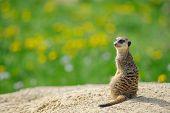 picture of meerkats  - Meerkat on watch with green grass full of dandelions in background - JPG