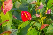 pic of bisexual  - Flamingo Flower or Boy Flower flower - JPG