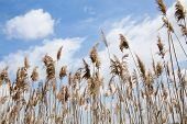 image of marshes  - Tall Marsh Grass Against a Blue Sky With White Cloud - JPG