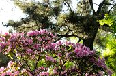 stock photo of azalea  - Pink flowering azaleas at a park in Shanghai China - JPG