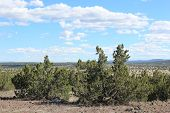 image of juniper-tree  - Juniper woodland with vast views of the landscape beyond taken in Northern Arizona - JPG