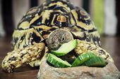 image of herbivore animal  - Leopard tortoise  - JPG