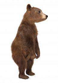 picture of bear-cub  - 3D digital render of a brown bear cub isolated on white background - JPG