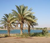 Постер, плакат: Palms and fields on Nile riverside