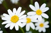 stock photo of daisy flower  - a pretty flower in the field in spring - JPG