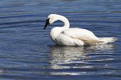 image of trumpeter swan  - A trumpeter swan splashes water over itself in a river in Ohio - JPG