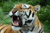 stock photo of animal teeth  - an angry tiger showing his dangerous teeth in a game park - JPG