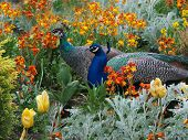 stock photo of peahen  - Peacock and peahen courting in the colorful flowerbed - JPG